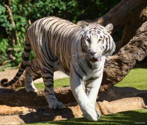 Die weißen Tiger sind eine weitere Attraktion des Parks.